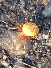 A weird spider.